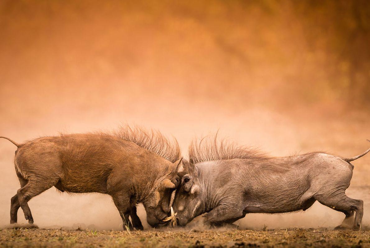 2 kämpfende Warzenschweine