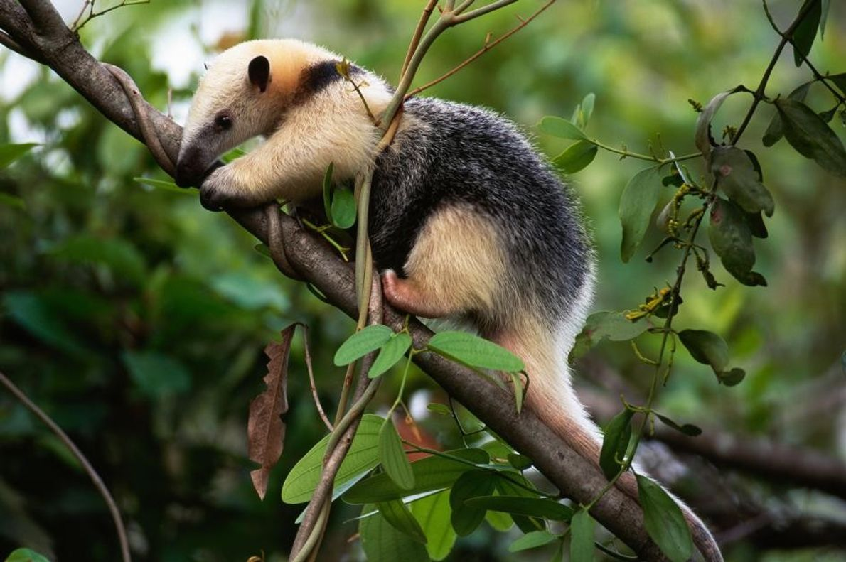 Ein Südlicher Tamandua erklimmt auf der Suche nach Insekten einen Baum in Pantanal, Brasilien.