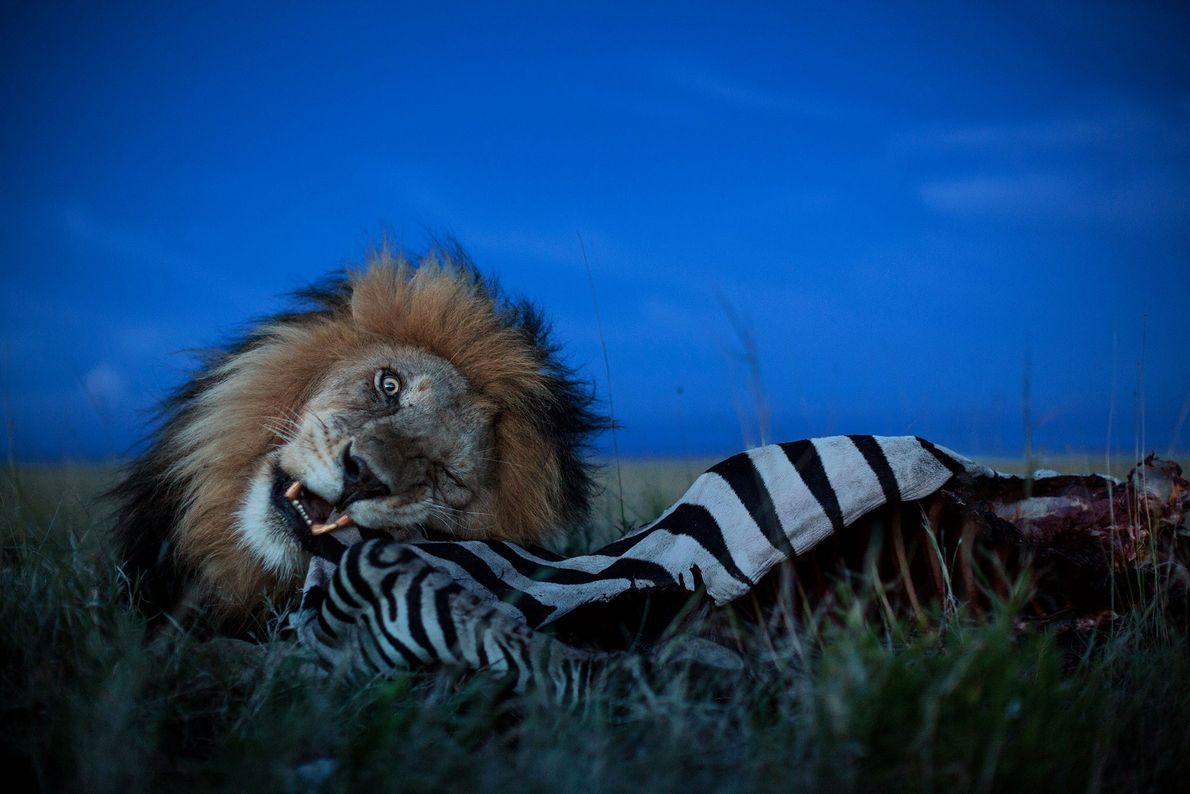 """Das Löwenmännchen """"C-Boy"""" frisst im Serengeti-Nationalpark in Tansania von einem Zebra."""