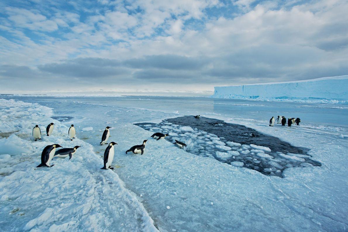 Die Gefahr, von einem Seeleoparden attackiert zu werden, ist am größten, wenn die Pinguine vom Eis ...