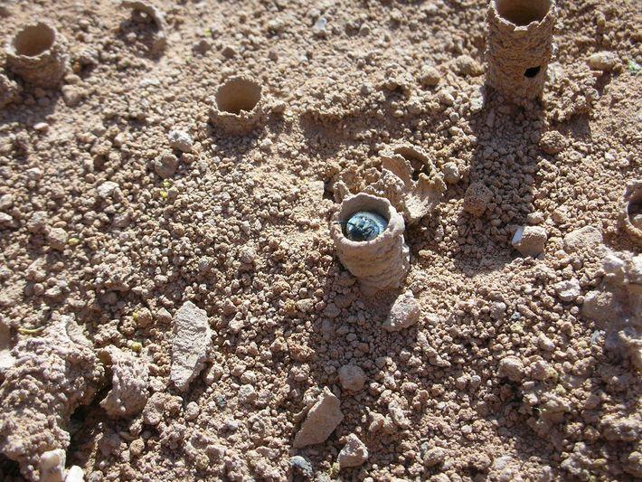 Die Bienen bauen manchmal in weniger als einem Tag ein solches Nest. Dazu graben sie sich ...