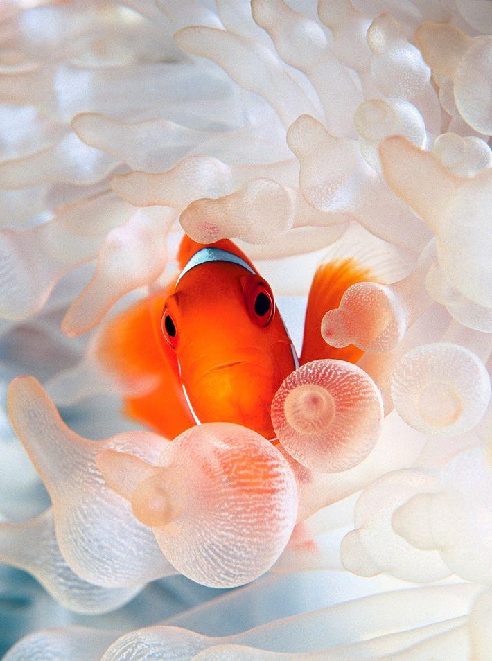 Ein Samtanemonenfisch inmitten einer Blasenanemone.
