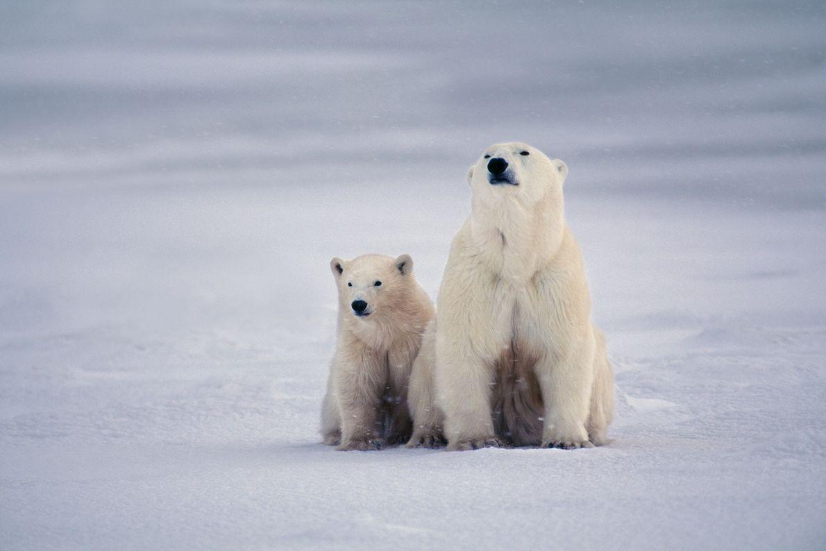 Eine Eisbärenmutter und ihr Junges bleiben in der kanadischen Hudson Bay dicht beieinander.