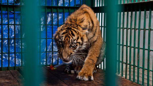Galerie: 15 Bilder zeigen die Anmut und Kraft von Tigern