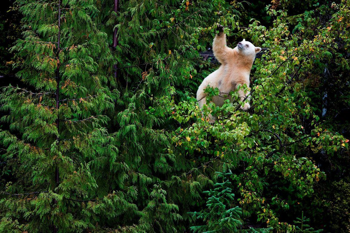 Äpfel sind eine der Lieblingsspeisen der Geisterbären von British Columbia. Die kleine Küstenstadt Klemtu hatte eine ...