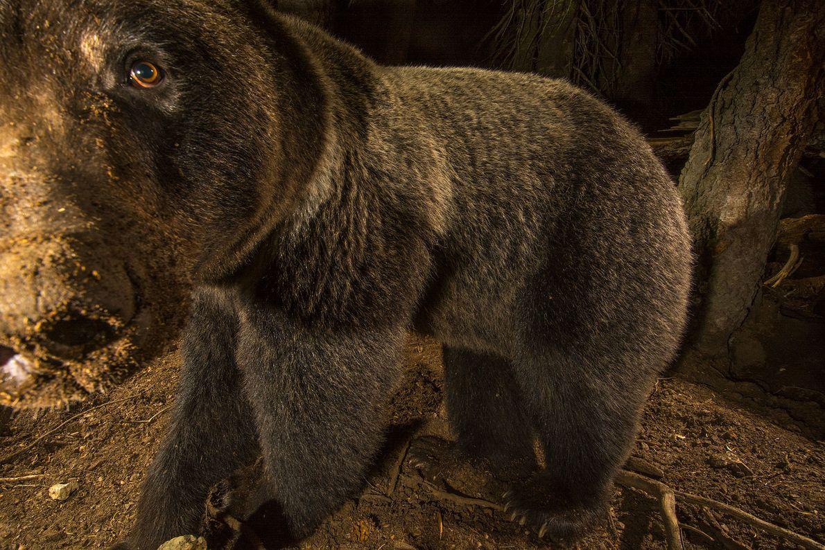 Nahaufnahme eines Grizzlybären.