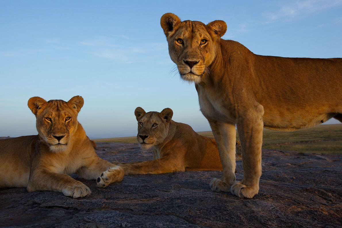 Drei Löwinnen