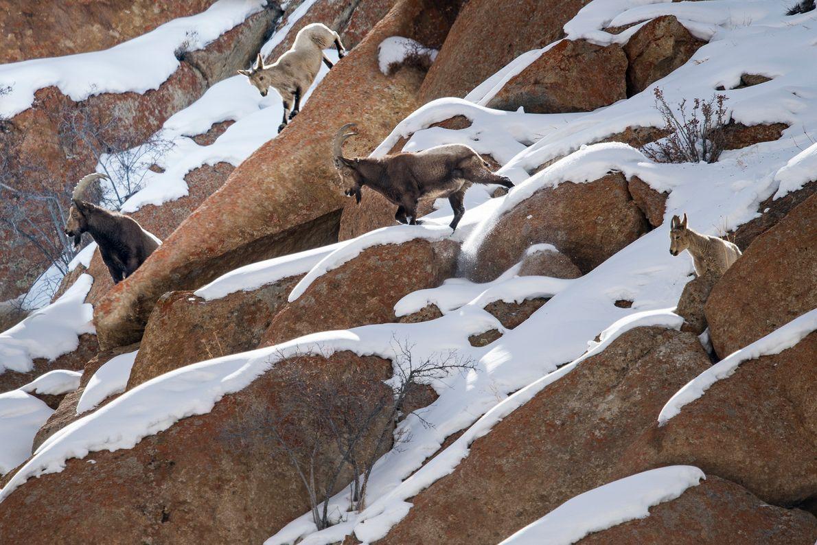 Sibirische Steinböcke stehen im Himalaya auf einem felsigen Berghang. Mit ihren scharfkantigen Hufen können sie sich ...