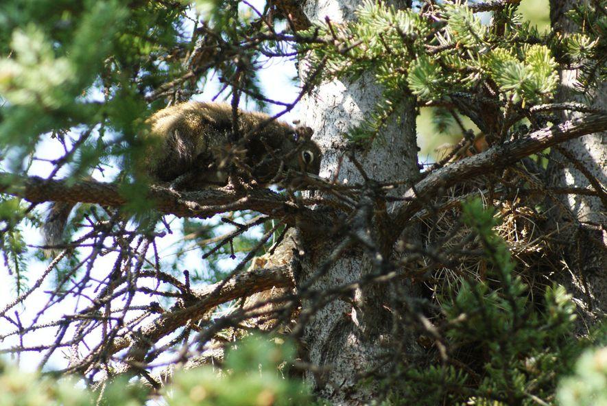 Die Jungtiere dieses Weibchens wurden von einem Männchen getötet. Die Biologin Jessica Haines sagt, dass sie ...