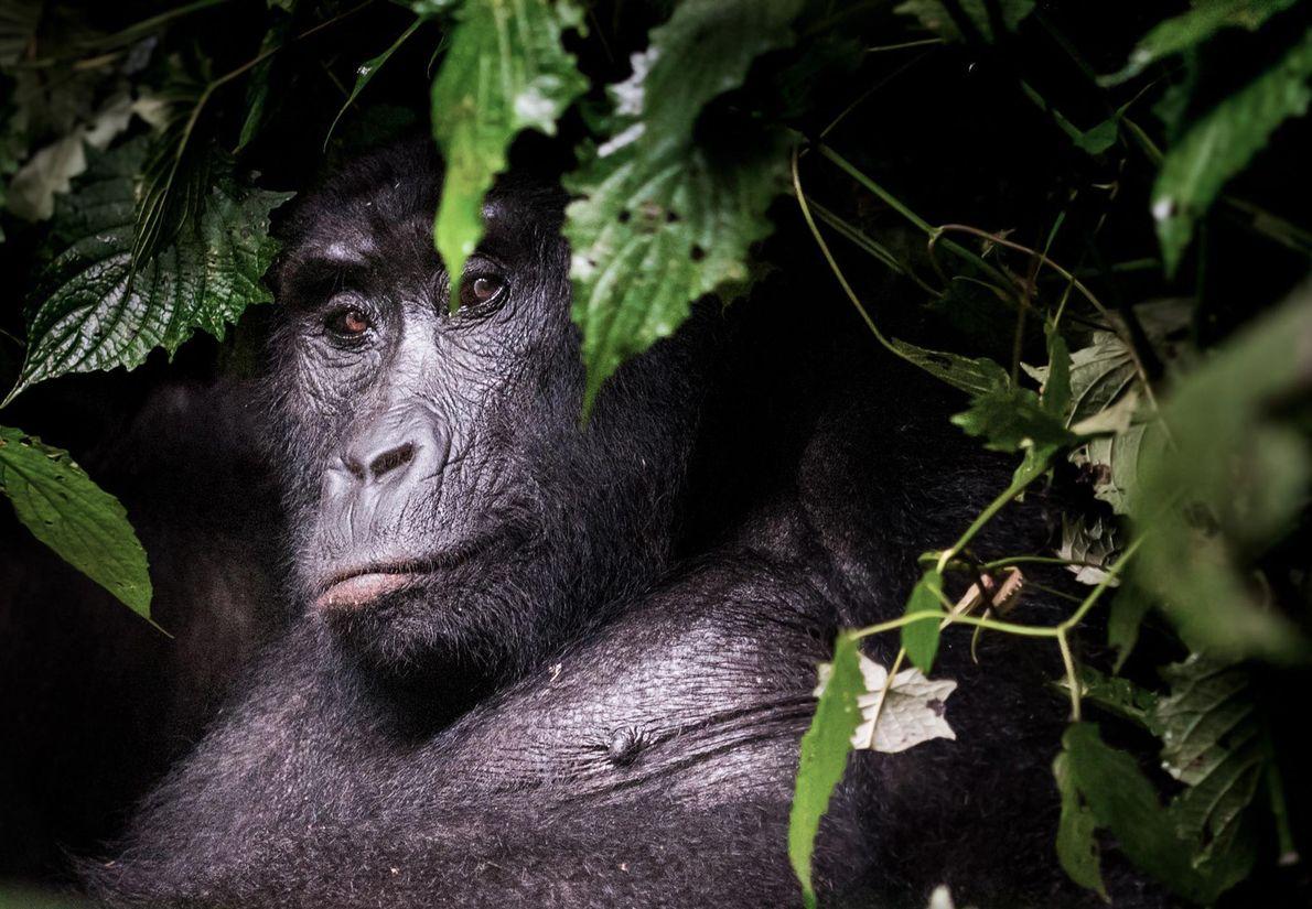 Gorilla. Rubaya, Western Region, Uganda