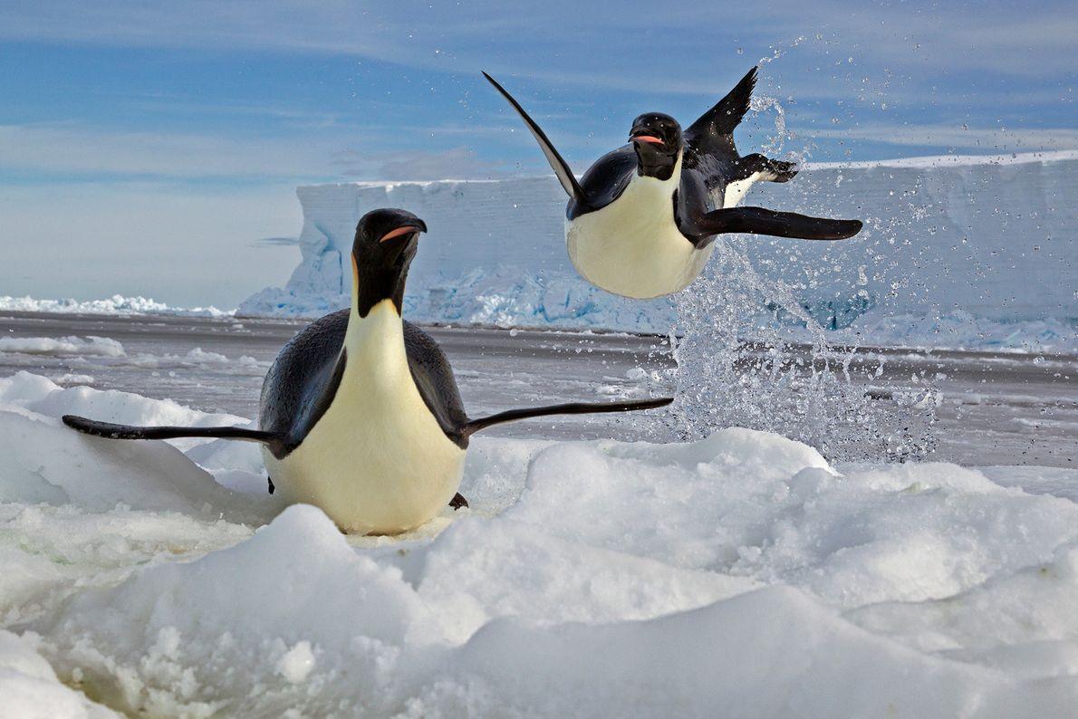 Ein Kaiserpinguin springt auf eine Eisscholle im Rossmeer der Antarktis. Kaiserpinguine brauchen das Eis, um ihre ...