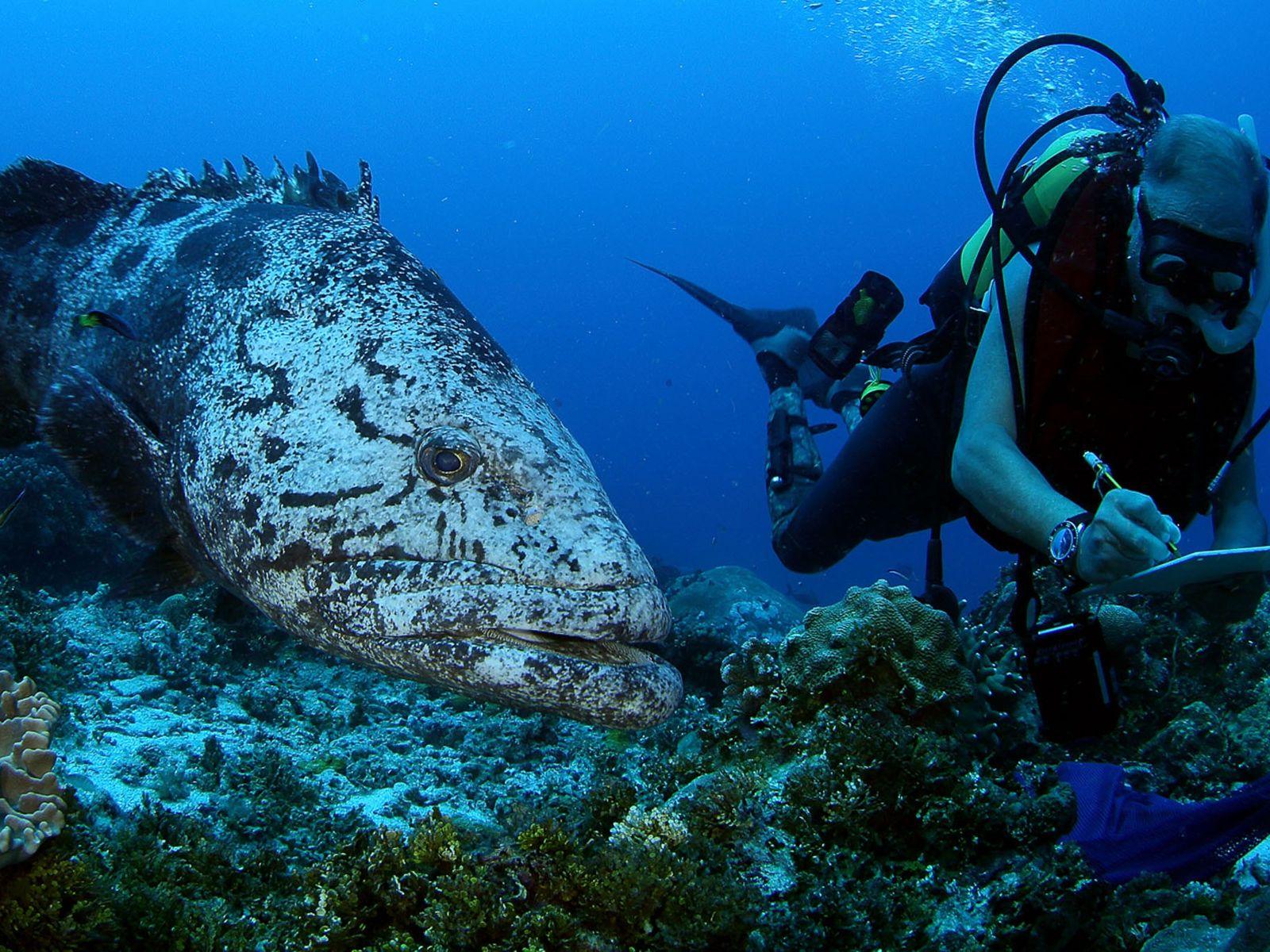 Ein Taucher des Pristine Seas Project wird bei einer wissenschaftlichen Expedition in den Outer Islands der ...