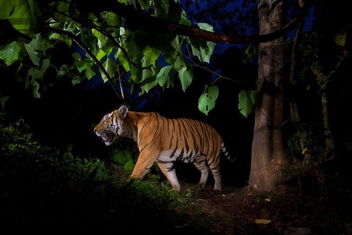 Eine Kamerafalle machte diese Aufnahme eines Tigers in einem Wildschutzgebiet in Thailand. In Vietnam und Laos ...