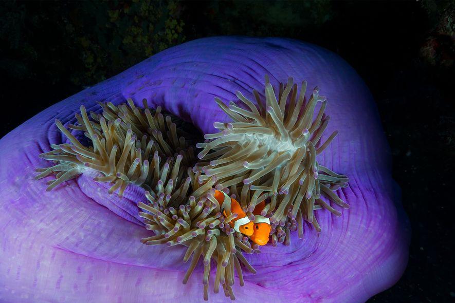 Zwei Clownfische in Tubbataha drängen sich in der Anemone, in der sie leben, aneinander.