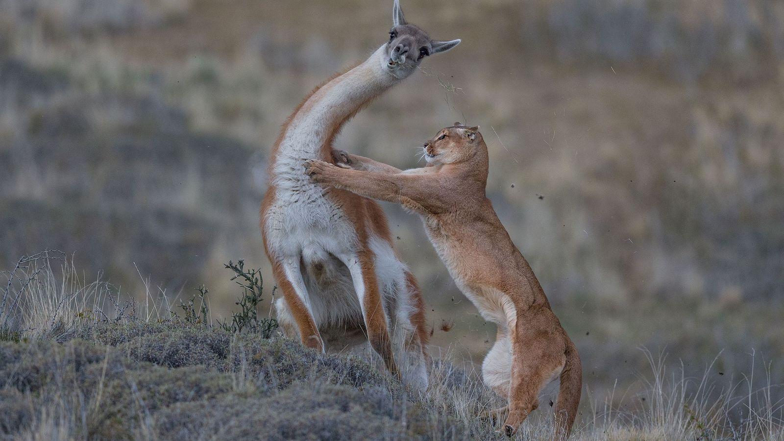 Puma jagt Guanako