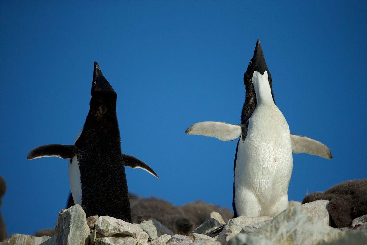 Pinguine sind soziale Tiere, die viel miteinander kommunizieren.