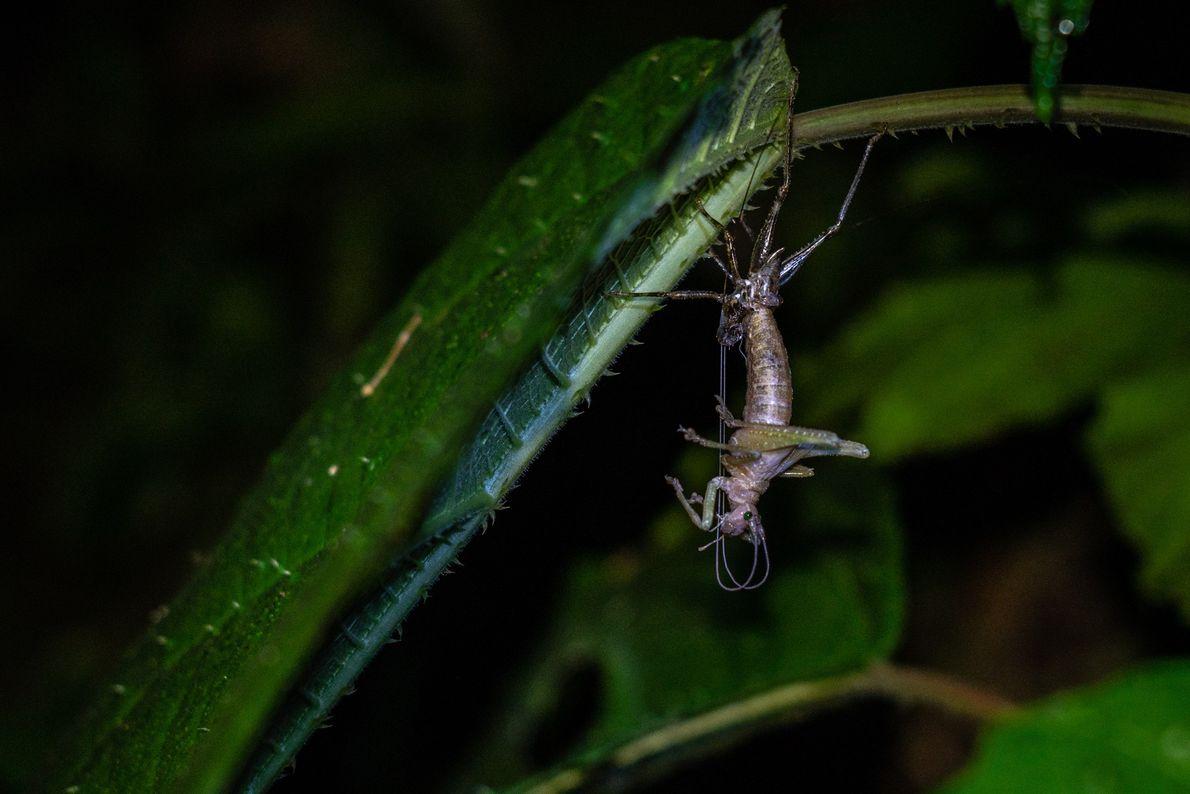 Wissenschaftler fotografierten diese Heuschrecke aus der Familie der Laubheuschrecken bei der Häutung.
