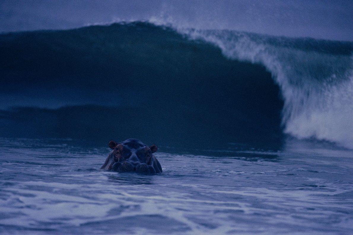 Ein Surf-Nilpferd