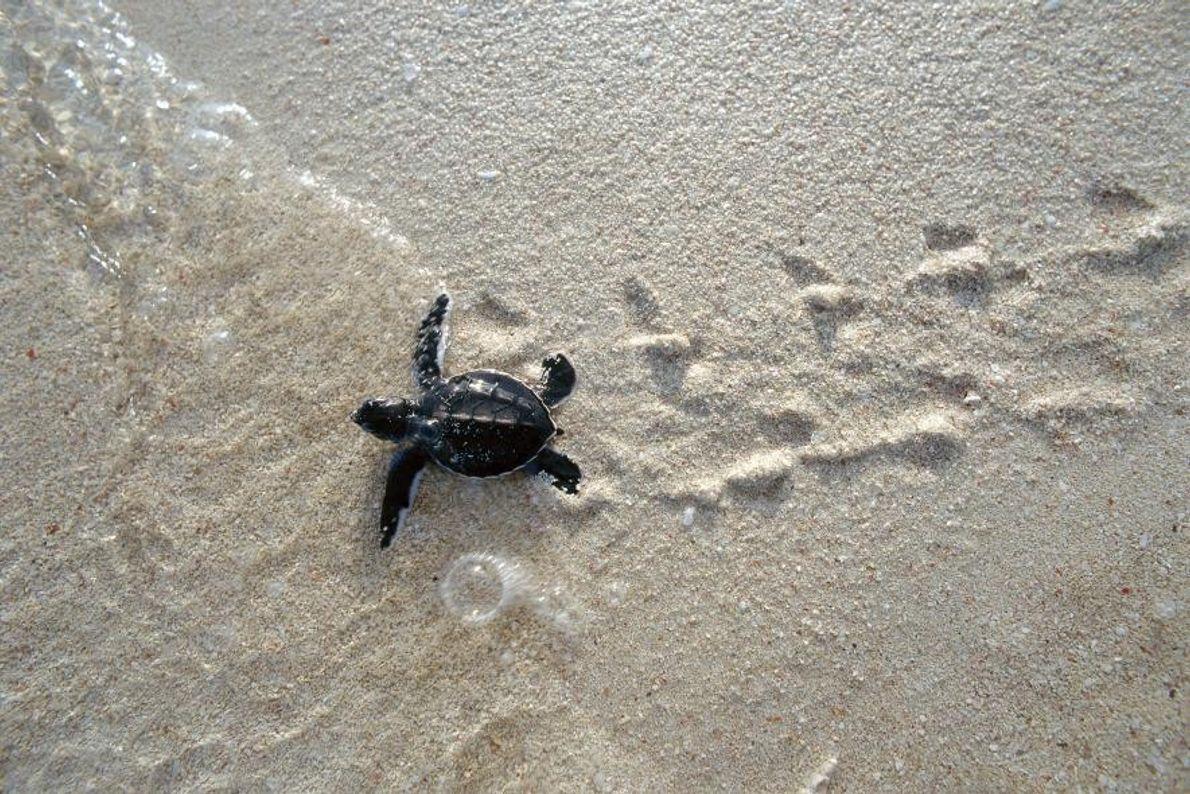 Eine frisch geschlüpfte Suppenschildkröte (Chelonia mydas) steuert auf das Meer zu.