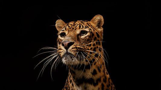 Raubkatzen in all ihrer Schönheit