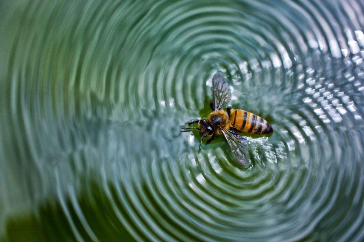 Bienen sammeln Wasser im Umkreis von bis zu fünf Kilometern an Teichufern, den Rändern von Pfützen, ...