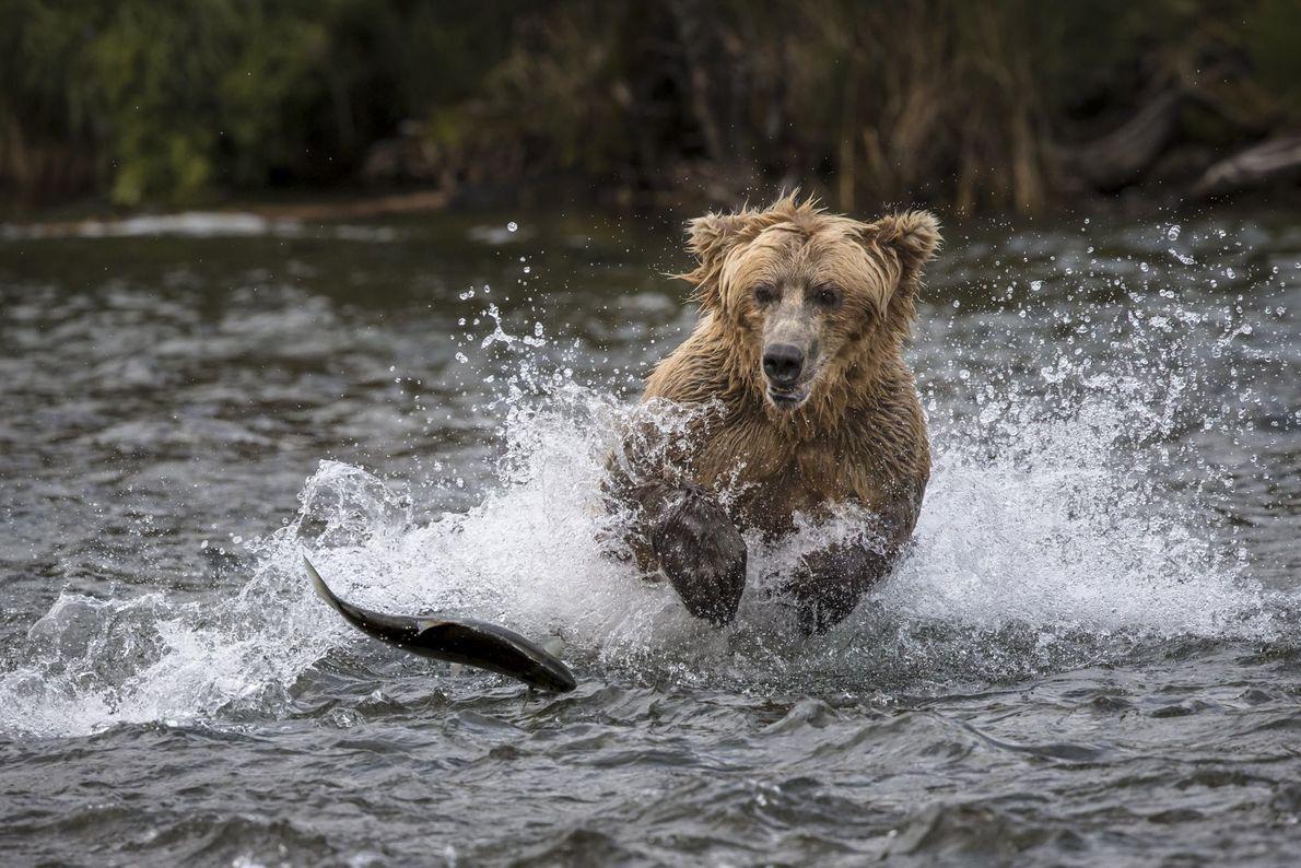 Ein Grizzlybär jagt in einem Fluss einen wilden Lachs, der mit einem Sprung aus dem Wasser ...