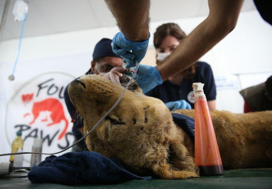 Eine Löwin wird in der Türkei medizinisch behandelt. Die Untersuchungen zeigten, dass eine andere Löwin trächtig ...