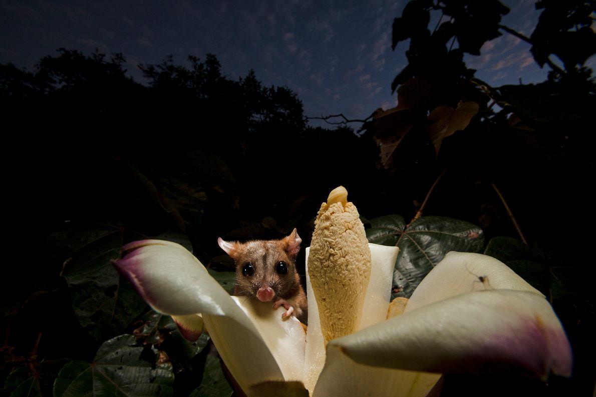 Eine Wollbeutelratte trinkt Nektar aus der Blüte eines Balsabaums in Panama.