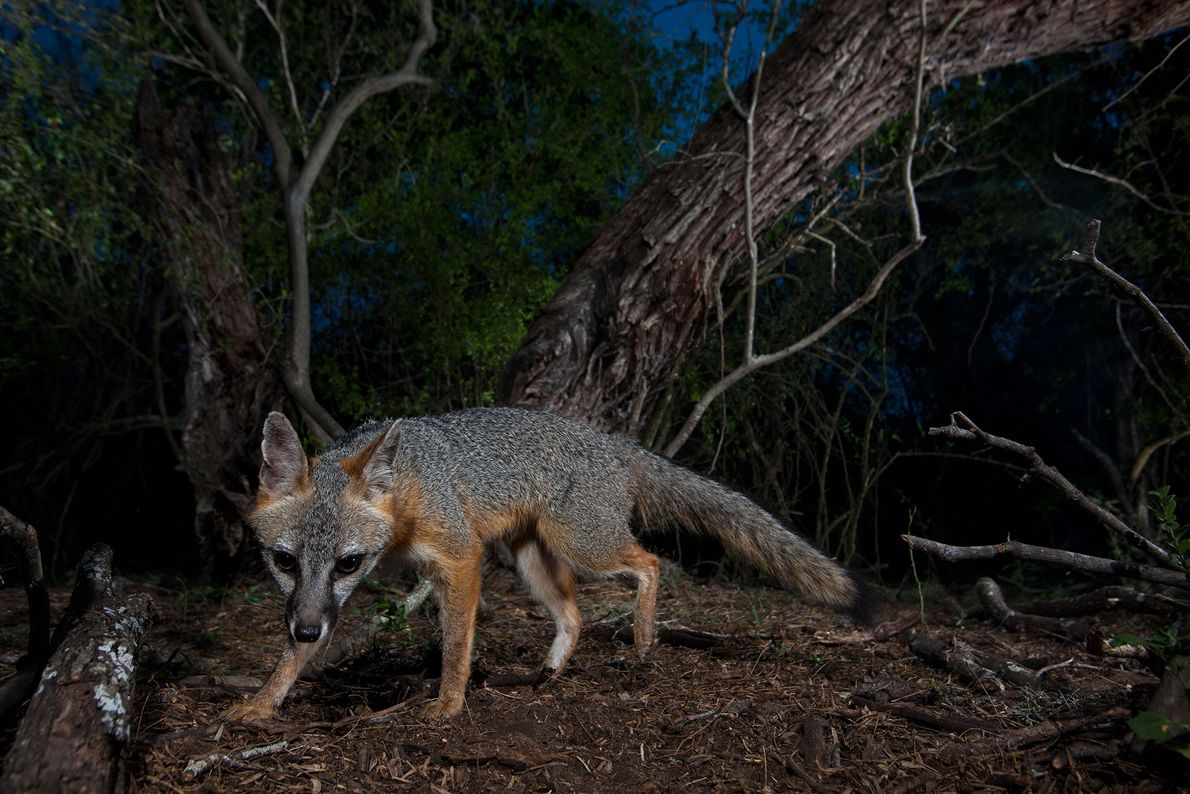 Ein Graufuchsweibchen pirscht sich durch einen nächtlichen Wald in Texas.