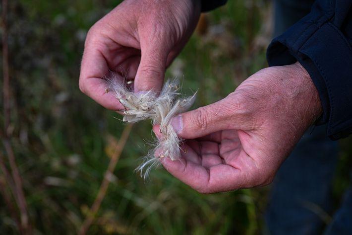 Schäffer untersucht Distelsamen von einem unbefestigten Randstreifen neben einer Straße. Insekten