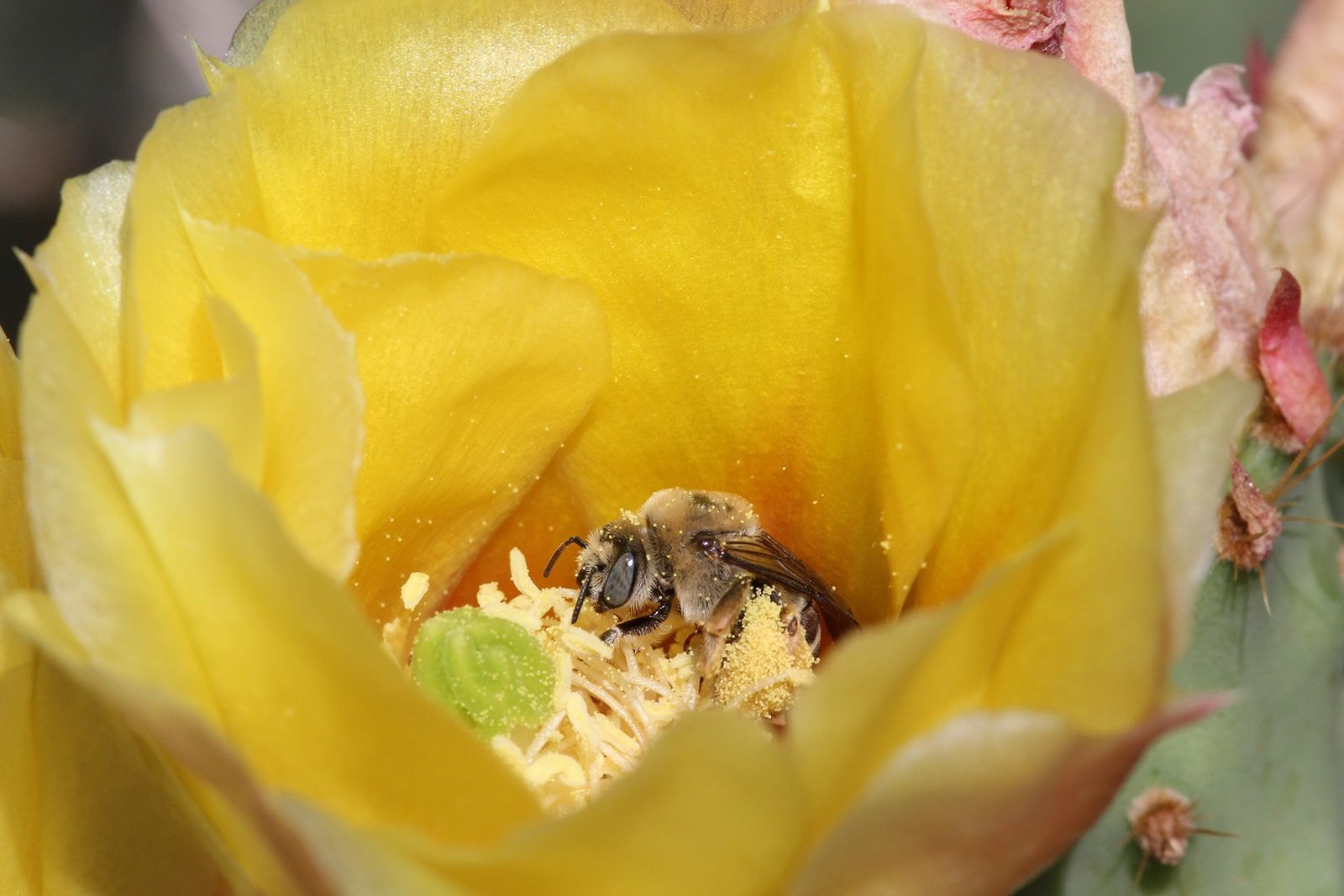 Das Grand Staircase-Escalante National Monument ist die Heimat hunderter Bienenarten, wahrscheinlich aufgrund des vielfältigen Blumenvorkommens. Dieser ...