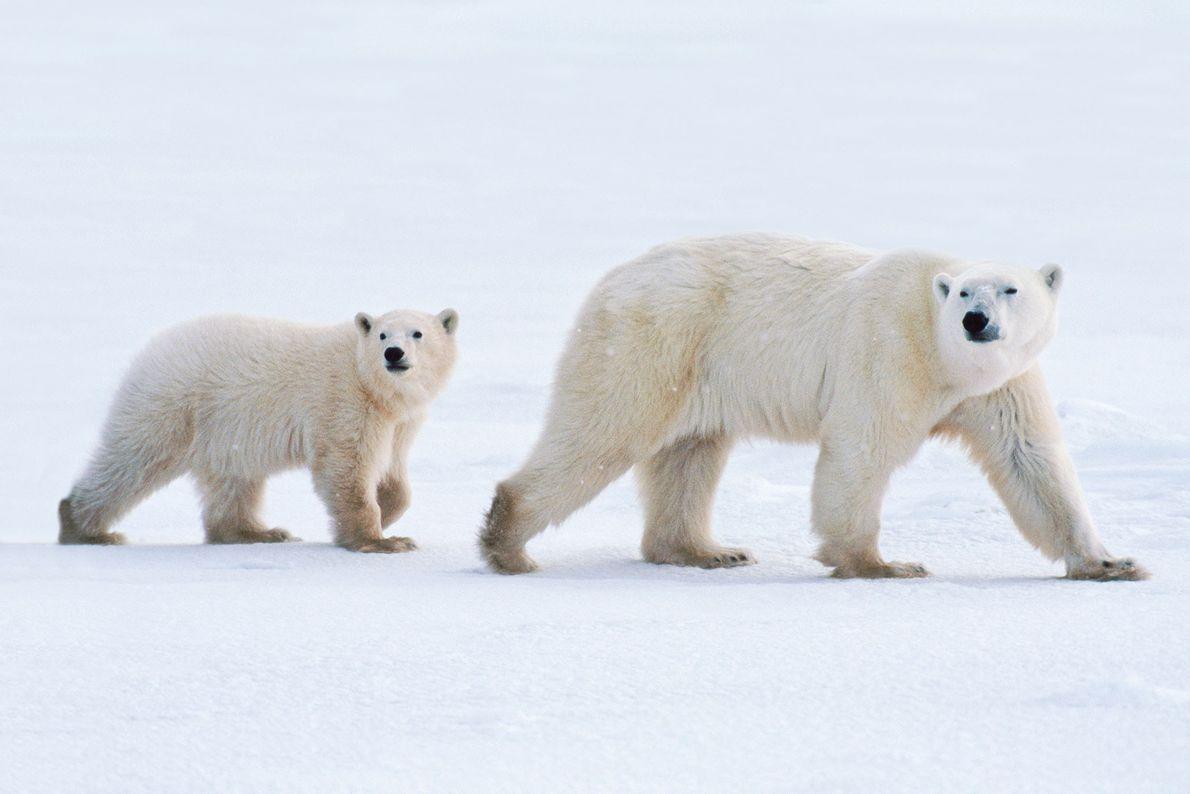 Eine Eisbärenmutter und ihr Junges streifen durch die Hudson Bay in Kanada