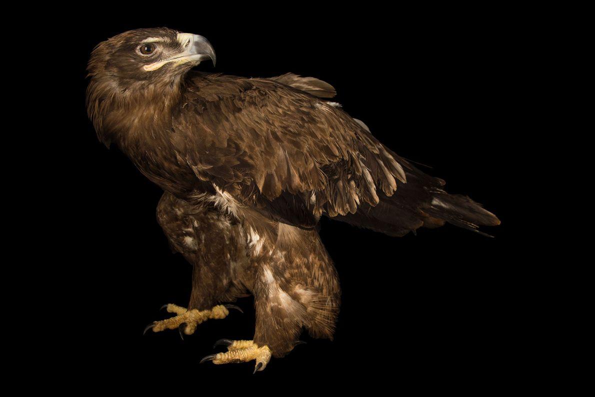 Ein Steppenadler (Aquila nipalensis nipalensis) im Zoo und botanischen Garten von Assam. Dieser Zugvogel ist in ...