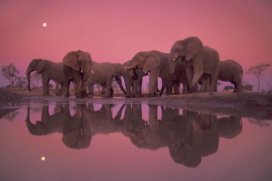 Afrikanische Elefanten stehen in der Dämmerung an einem Wasserloch im Chobe-Nationalpark, Botswana.