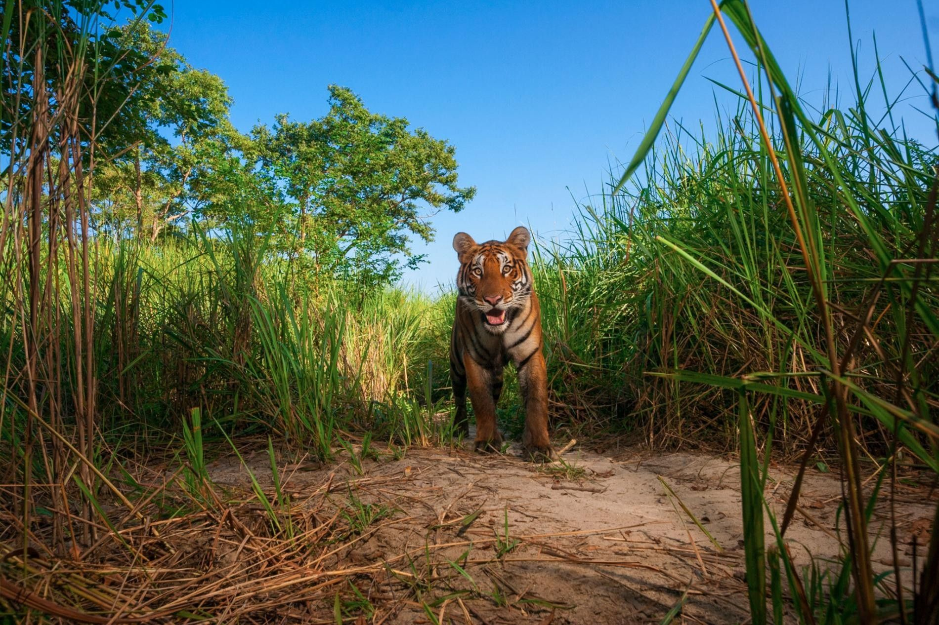 Ein Tiger im Kaziranga-Nationalpark.