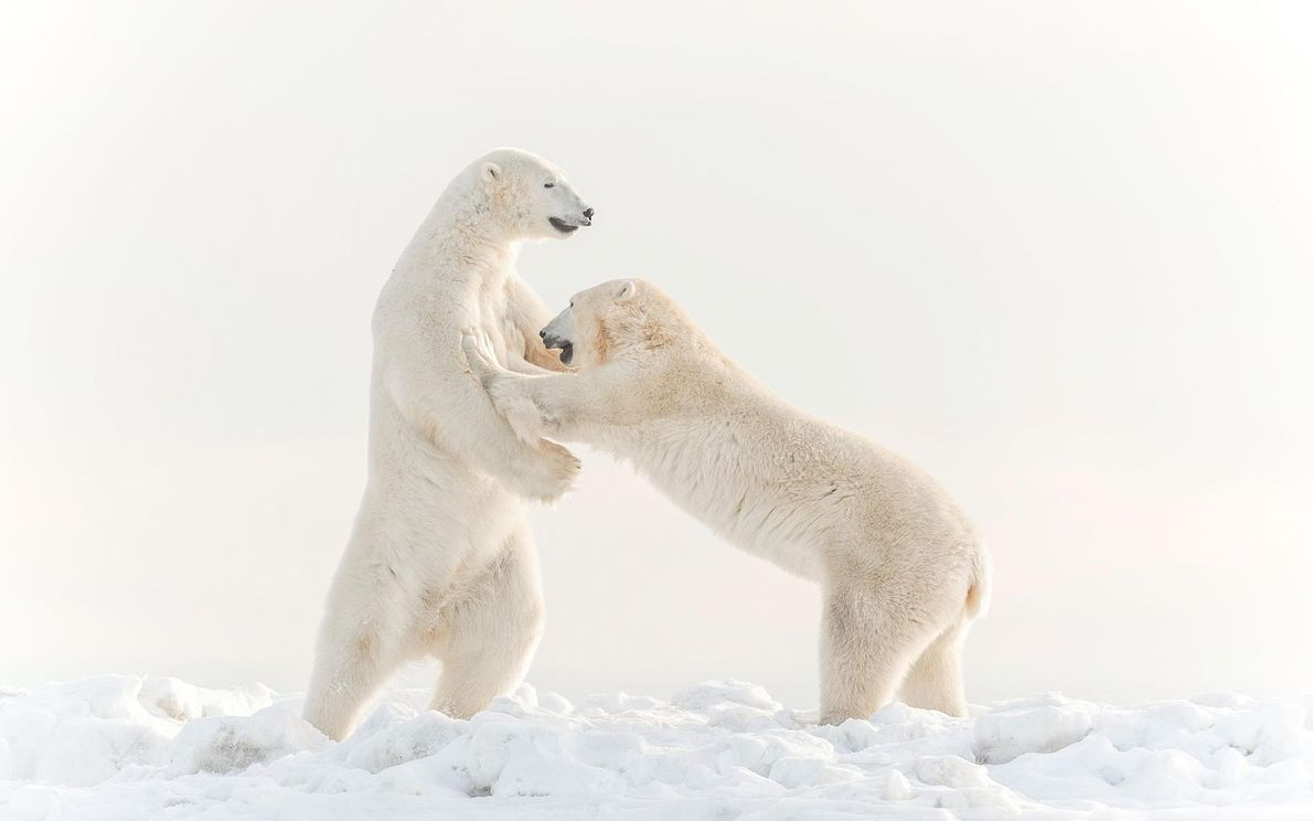 Eisbären. Hudson Bay, Manitoba, Kanada