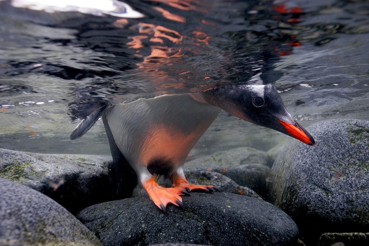 Ein Eselspinguin wirft einen Blick ins Wasser, bevor er hineinspringt. Im Gegensatz zu anderen Pinguinarten brüten ...