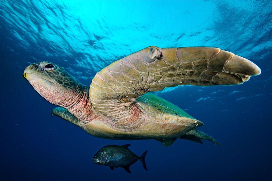 Eine Makrele schwimmt im Schatten einer großen Suppenschildkröte.