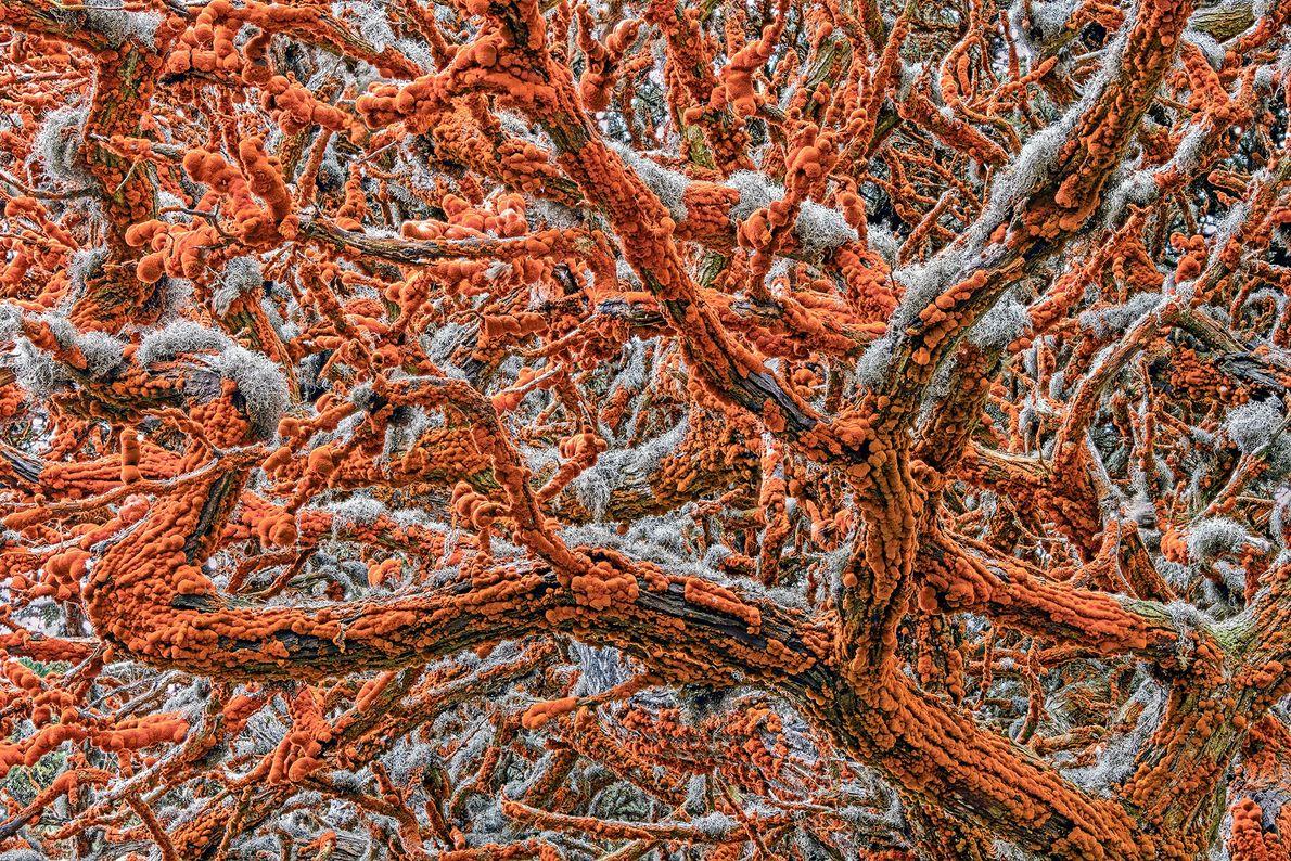 Monterey-Zypresse & Grünalgen und graue Flechten