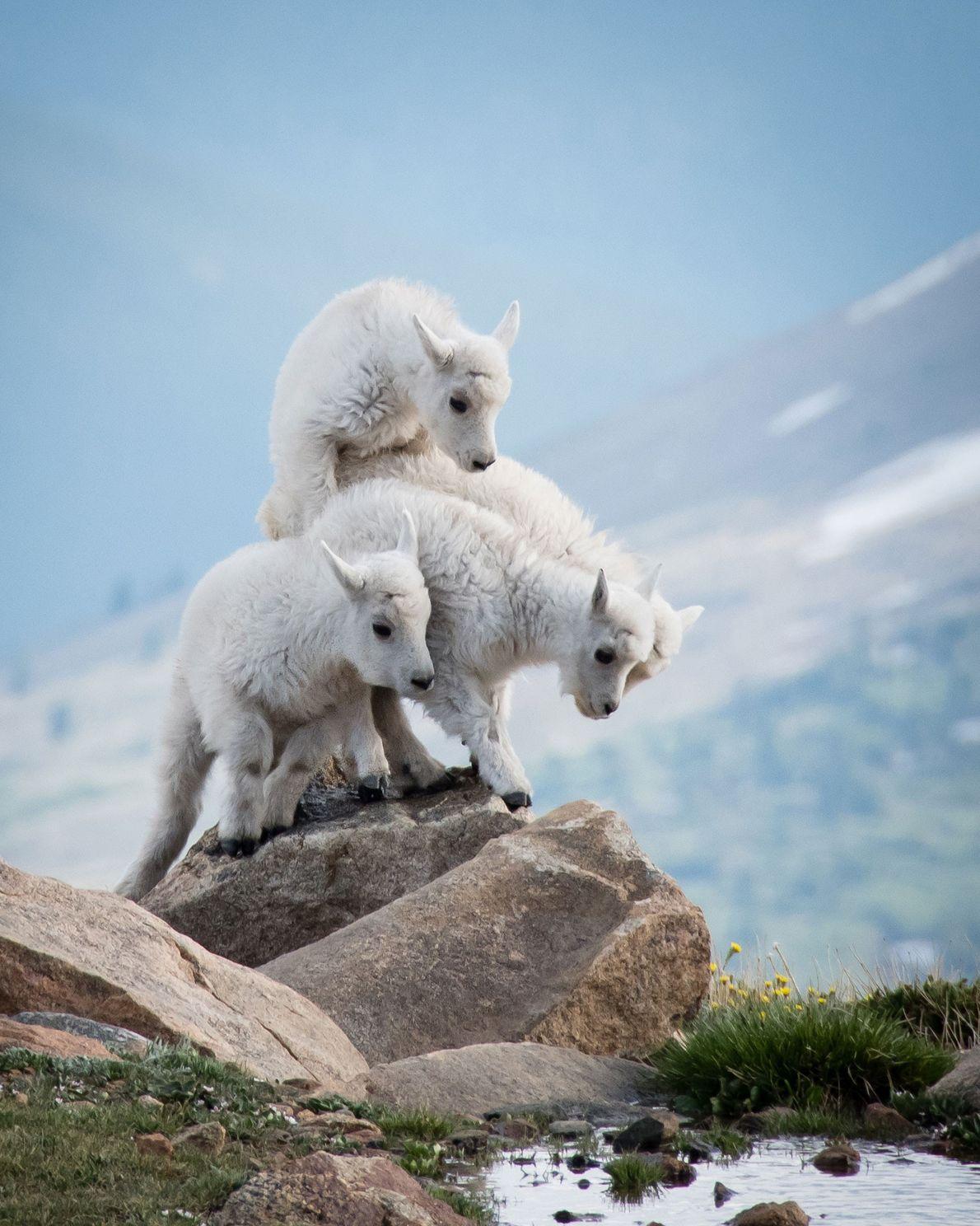 Schneeziegen. Mount Evans, Colorado, USA.