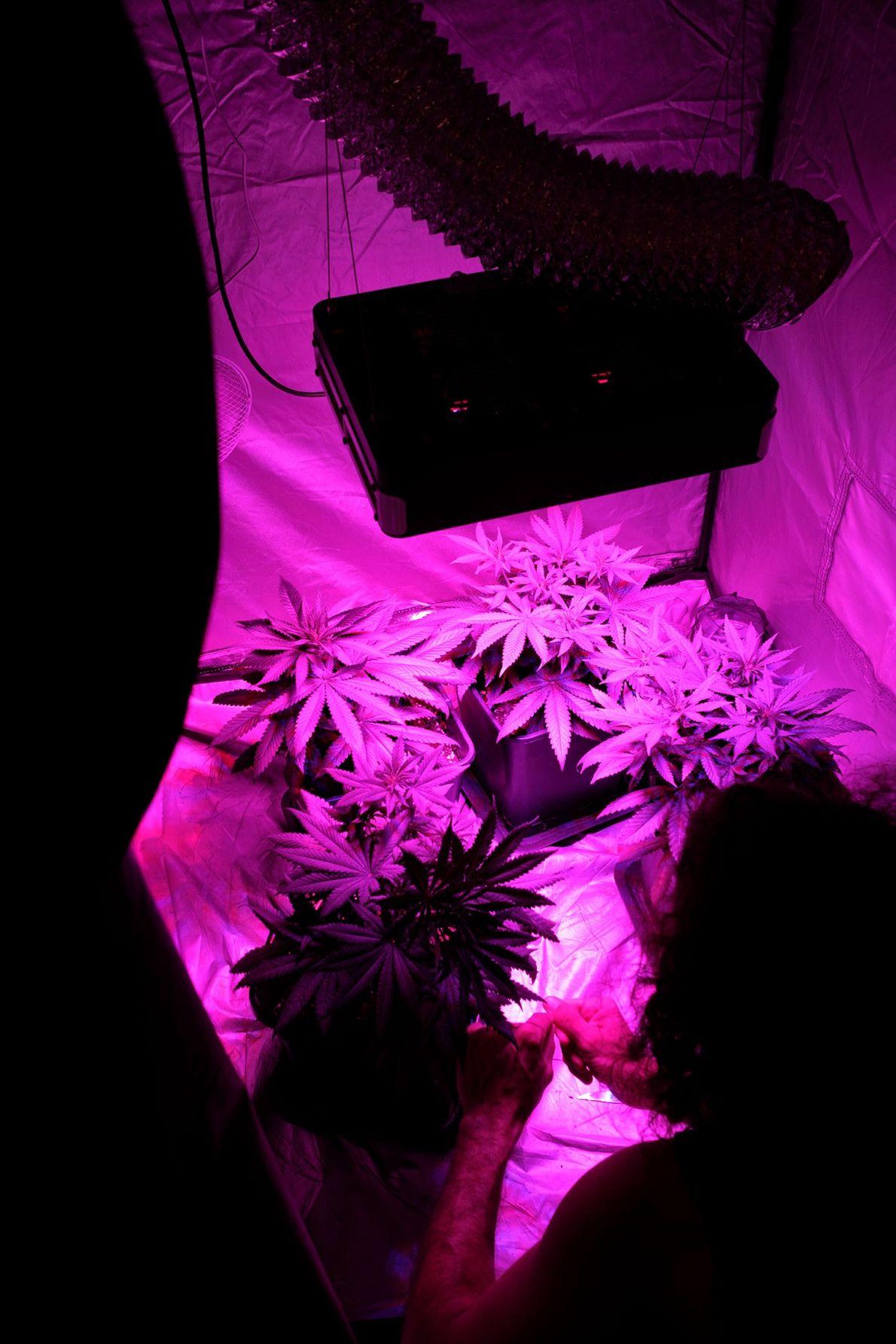 Indoor-Cannabispflanze
