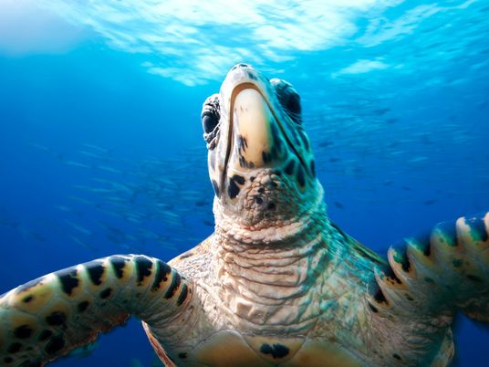 13 Aufnahmen seltener Meeresschildkröten