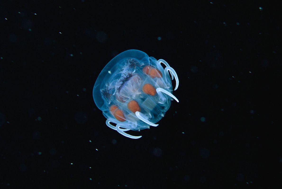 BABY-GLIBBER: Eine junge Qualle schwebt im Meer vor Polynesien. Quallen sind eine uralte Tierart und existierten …