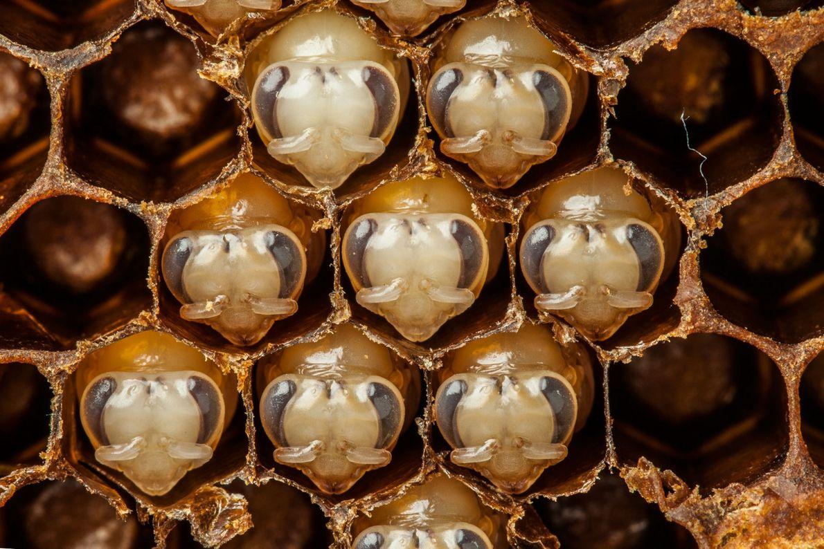 Bienen im Puppenstadium: Im Alter von zehn Tagen beginnen Bienen, Wachs abzusondern, mit dem sie perfekte, ...
