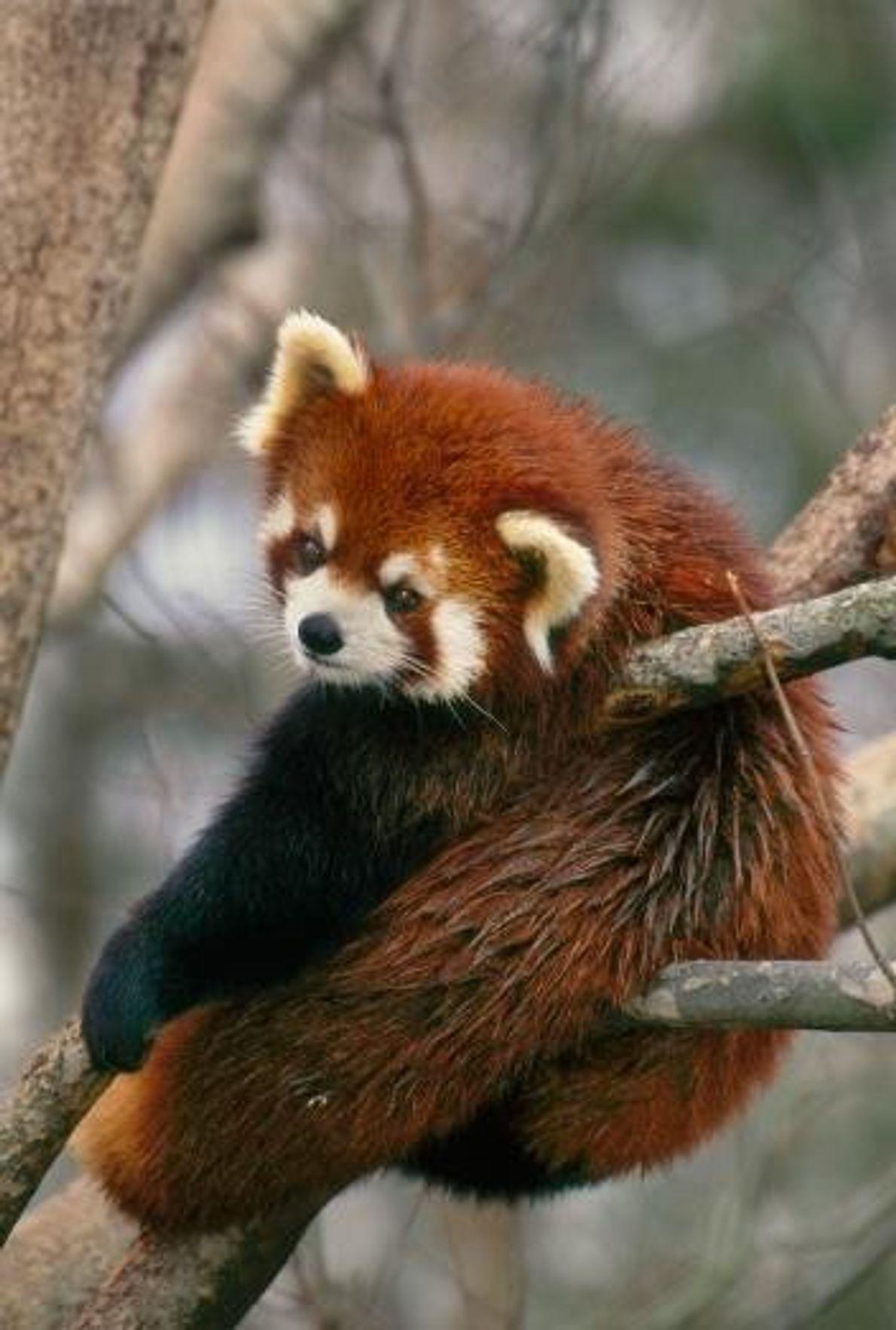 Pandapause