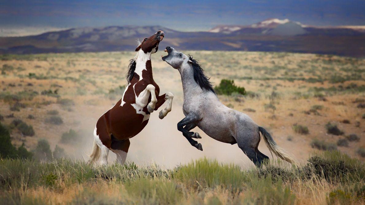 Ich war gerade angekommen und sah diese Herde wunderschöner Wildpferde in ihrer heimischen Prärie in Colorado. ...