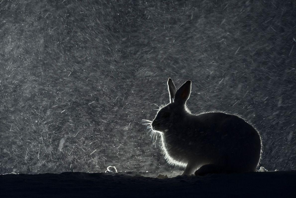 Ein Schneehase in einer Winternacht in Norwegen.
