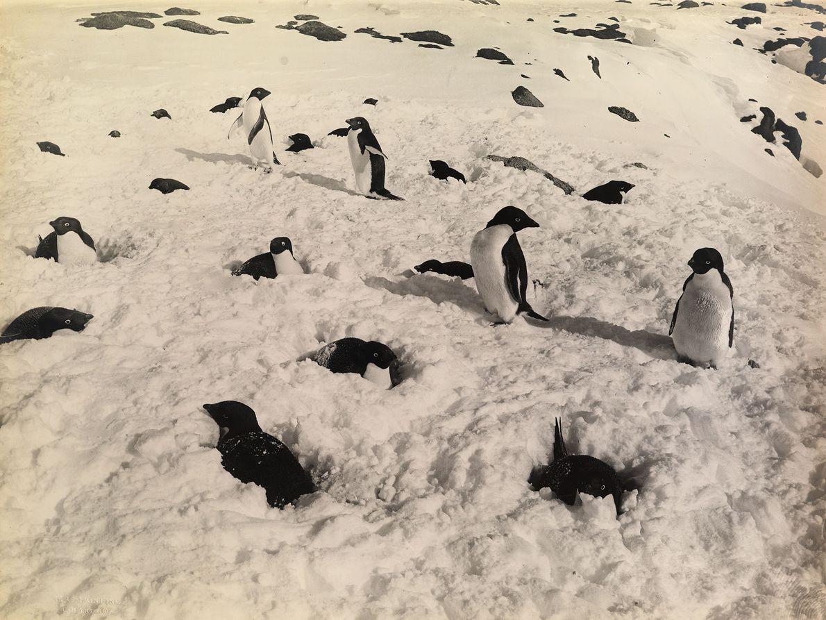 Adeliepinguine im Schnee