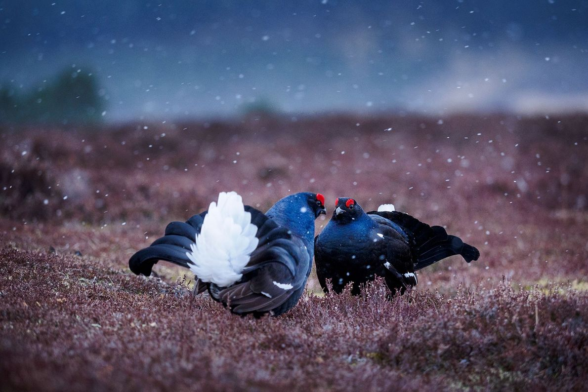 Birkhühner vollführen ein Balzritual. Schottland, Großbritannien