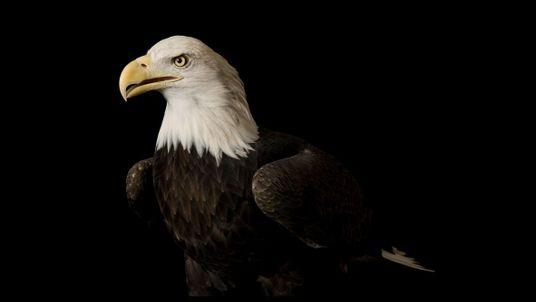 Die Eleganz des Adlers: Eindringliche Porträts von Greifvögeln